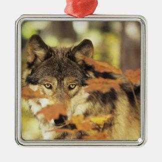 Ornement Carré Argenté Couleur d'automne de loup (lupus de Canis) |,