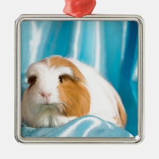 Ornement Carré Argenté guinea pig