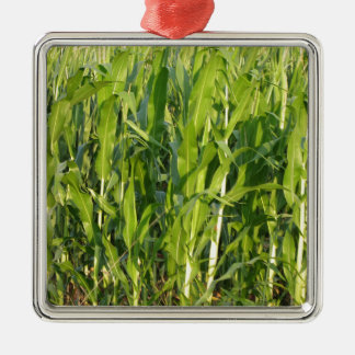 Ornement Carré Argenté Les plantes de maïs vert se développent en été