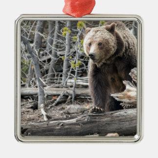 Ornement Carré Argenté Ours gris en parc national Etats-Unis de