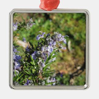 Ornement Carré Argenté Plante de Rosemary avec des fleurs en Toscane,