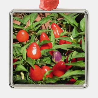 Ornement Carré Argenté Poivrons de piment rouge accrochant sur le plante
