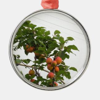 Ornement Rond Argenté Abricots mûrs accrochant sur l'arbre. La Toscane,