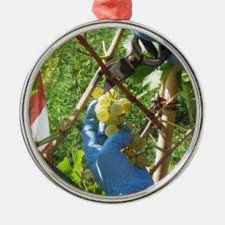 Ornement Rond Argenté Main coupant les raisins blancs, temps de récolte