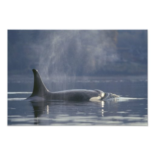 Orque d'Orcinus de baleine d'orque de femelle adul Photos D'art
