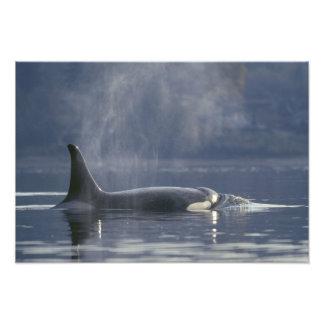 Orque d'Orcinus de baleine d'orque de femelle adul Tirage Photo