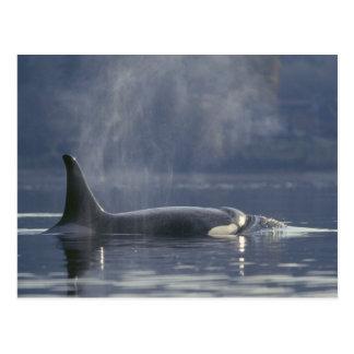 Orque d'Orcinus de baleine d'orque de femelle Cartes Postales