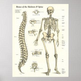 Os du squelette et de l'affiche d'anatomie d'épine poster