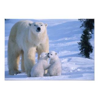 Ours blanc femelle se tenant avec 2 CUB à elle Impressions Photo