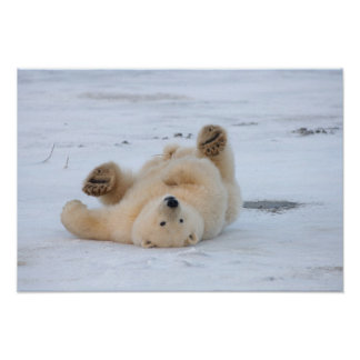 ours blanc, maritimus d'Ursus, petit animal roulan Poster