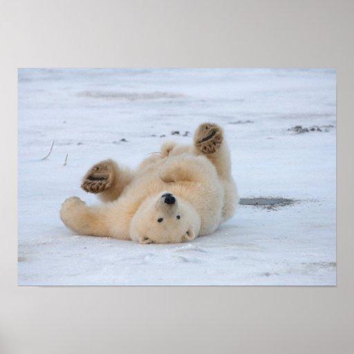 ours blanc, maritimus d'Ursus, petit animal roulan Affiche