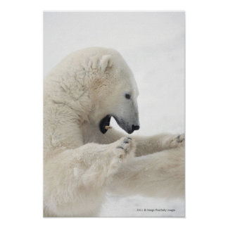 Ours blanc s'engageant dans un combat avec un autr poster