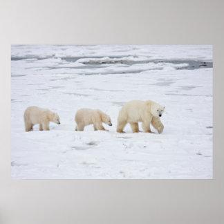 Ours blancs femelles et deux petits animaux 2 poster
