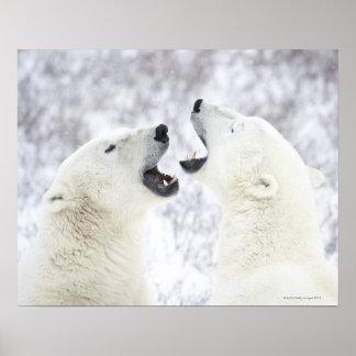 Ours blancs jouant dans la neige poster
