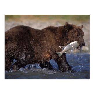ours brun, arctos d'Ursus, ours gris, Ursus 6 Carte Postale