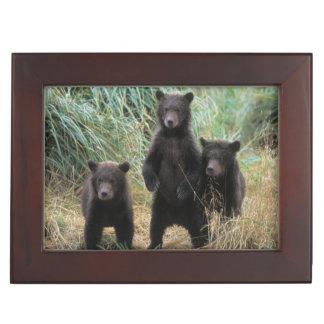 ours brun, arctos d'Ursus, ours gris, Ursus 7 2 Boîtes À Souvenirs
