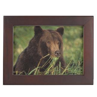 ours brun, arctos d'Ursus, ours gris, Ursus 7 Boîte À Souvenirs