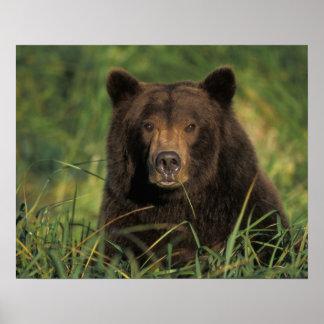 ours brun, arctos d'Ursus, ours gris, Ursus 9 Affiche