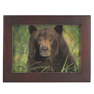 ours brun, arctos d'Ursus, ours gris, Ursus 9 Boîte À Souvenirs