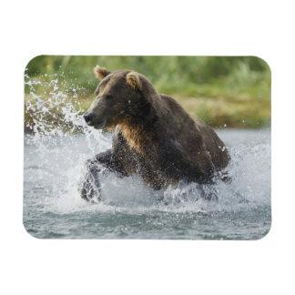 Ours de Brown chassant le saumon en rivière Magnets Souples