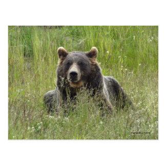 Ours de Brown dans l'herbe, ours gris de l'Alaska Carte Postale