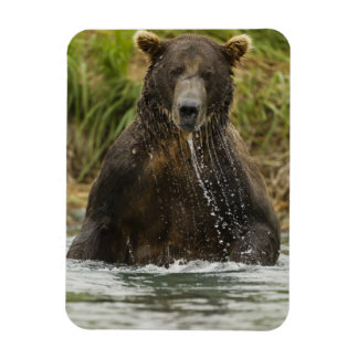 Ours de Brown, mâle, pêchant pour le saumon Magnet