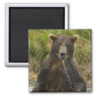Ours de Brown, mâle, pêchant pour le saumon Magnet Carré