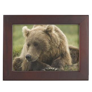 Ours de Brown, ou ours gris côtier, Ursus Boîte À Souvenirs