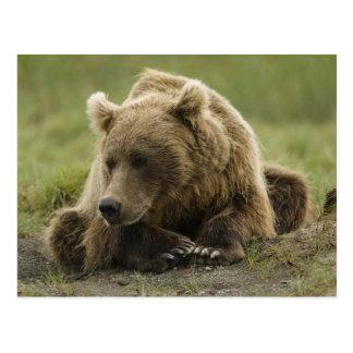 Ours de Brown, ou ours gris côtier, Ursus Carte Postale
