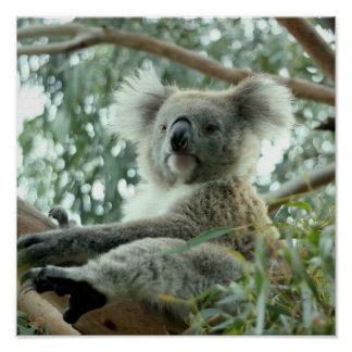 Ours de koala poster