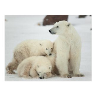 -ours polaire avec CUB Carte Postale