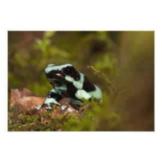 PA centrale, Etats-Unis, grenouille de dard d'Aura Photographies
