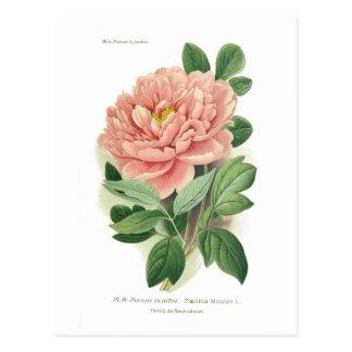 Paeonia moutan (pivoine) carte postale