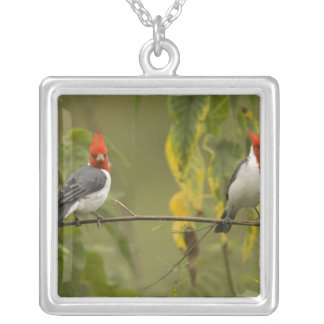 Paires cardinales à crête rouge, coronata de pendentif carré