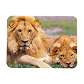 Paires de lions africains, Panthera Lion, Tanzanie Magnets Rectangulaires