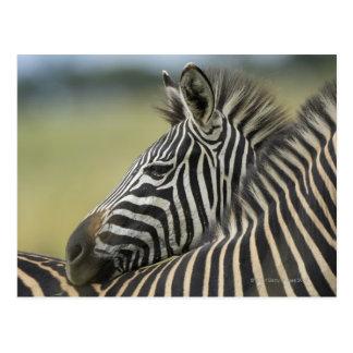 Paires de zèbre de plaines (quagga d'Equus), jeu Carte Postale