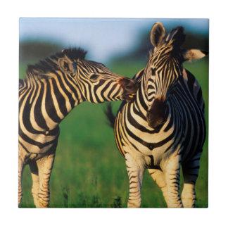 Paires de zèbre de plaines (Quagga d'Equus) se Petit Carreau Carré