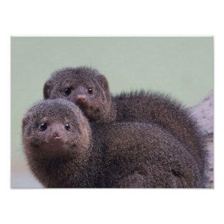 Paires naines mignonnes de mangouste tirages photo