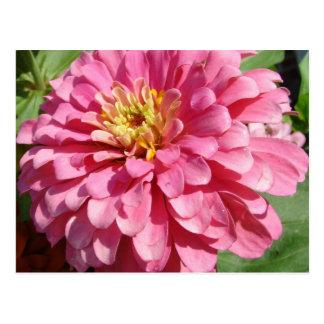 Pâlissez - le Zinnia rose Carte Postale