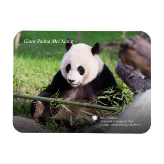 Panda géant Mei Xiang Magnets Rectangulaire
