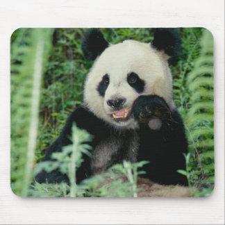 Panda la forêt, Wolong, Sichuan, Chine Tapis De Souris