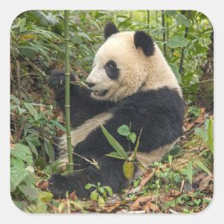 Panda mangeant le bambou sticker carré