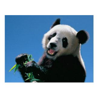 Panda mangeant le bambou, Wolong, Sichuan, Chine Carte Postale