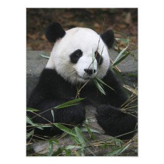 Pandas géants à la protection de panda géant et photos