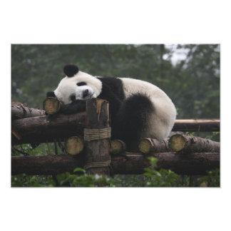 Pandas géants à la protection et aux 3 de panda gé photos