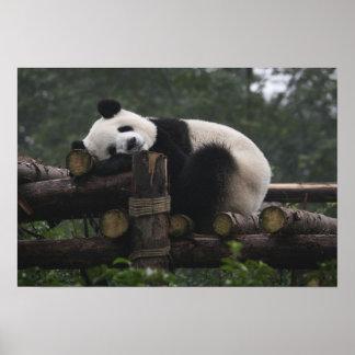 Pandas géants à la protection et aux 3 de panda gé posters