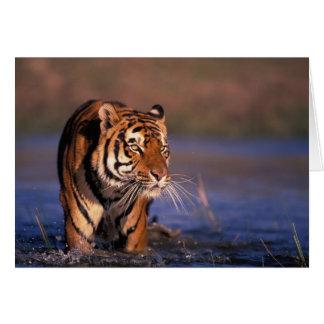 Panthera le Tigre de tigre de l'Asie, de l'Inde, Carte De Vœux