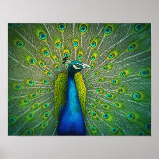 Paon - affiche 11x14 d'art de faune