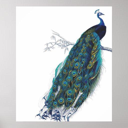 Paon bleu avec de belles plumes de queue affiche