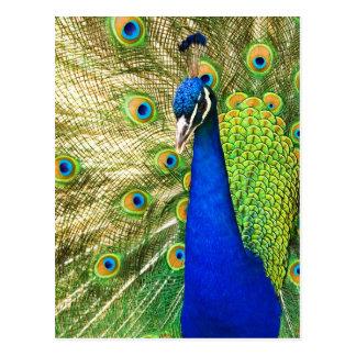 Paon montrant son plumage coloré cartes postales